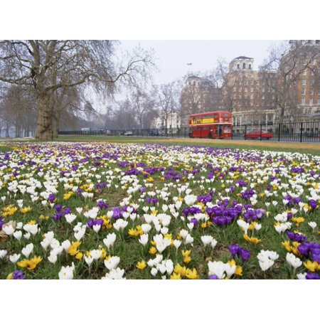 Crocus Flowering in Spring in Hyde Park, Bus on Park Lane in the Background, London, England, UK Print Wall Art By Mark Mawson - Hyde Park Halloween Party