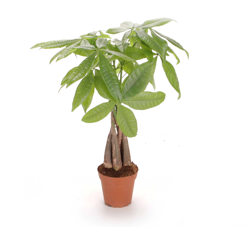 Costa Farms Live Indoor 16in Money Tree Grower Pot Walmart Com Walmart Com