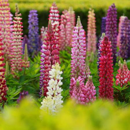 Lupine Flower Garden Seeds Russell Strain Mix 1 Oz Perennial