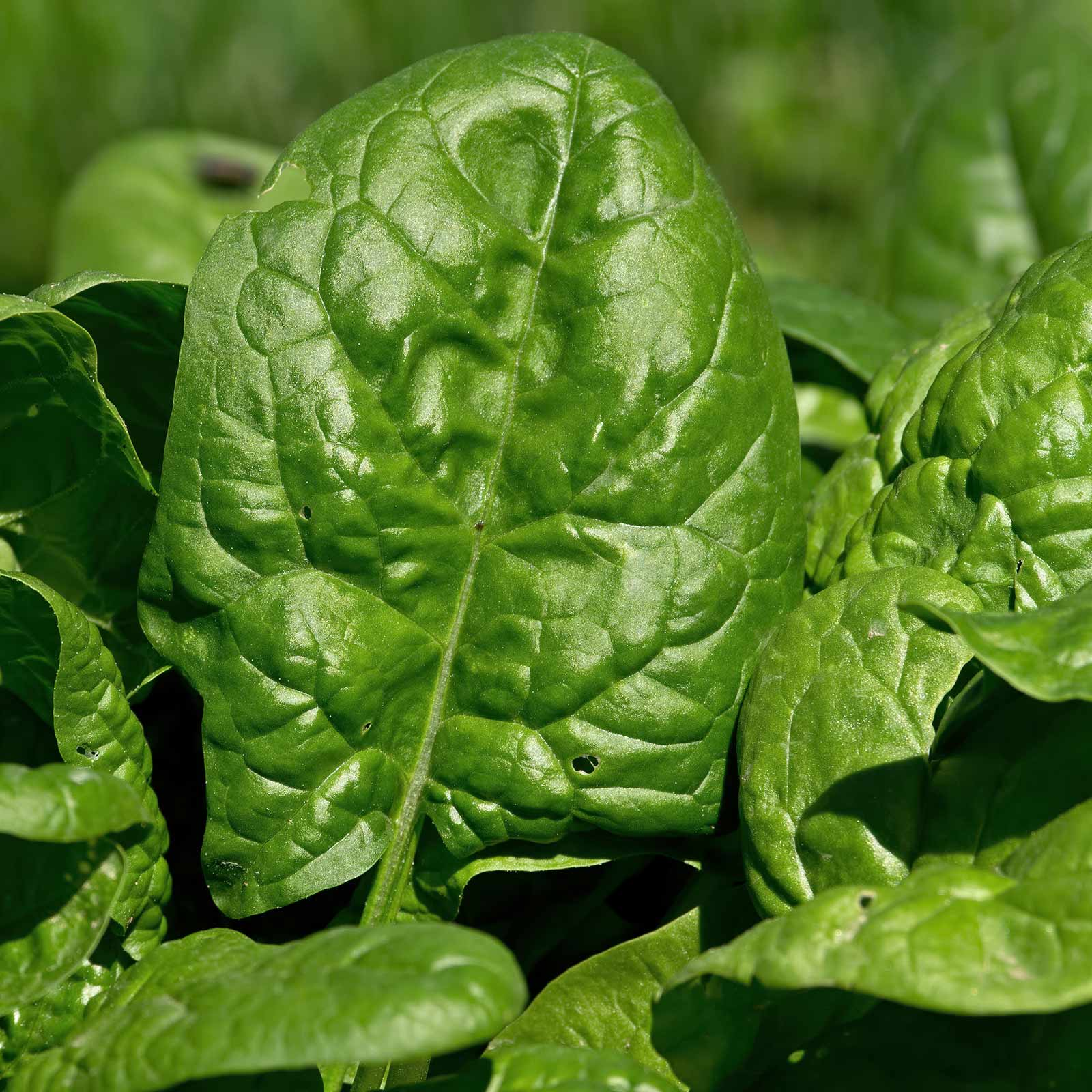 Giant Nobel Spinach Seeds - 5 Lb Bulk Seed - Heirloom, Non-GMO Gardening Seed - Slow Bolt Garden Spinach - Microgreens Seed