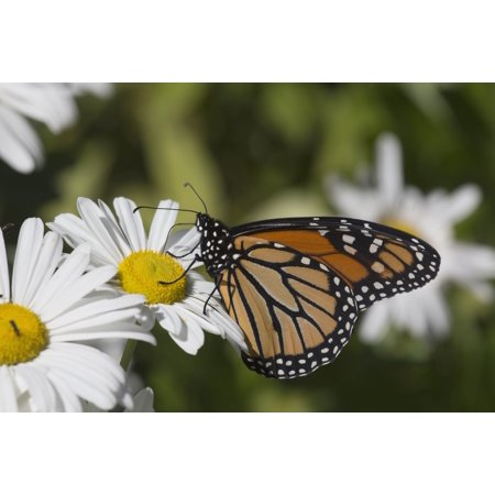 Monarch Butterfly (Danaus plexippus) nectaring on a Montauk Daisy in autumn Madison Connecticut United States of America PosterPrint