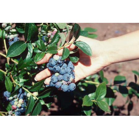 Blueberry Blueray Plant in a 4 inch Pot