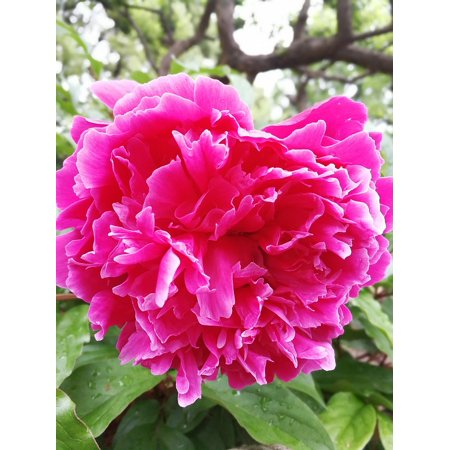 LAMINATED POSTER Chinese Herbaceous Peony Bright Flower Purple Level Poster Print 24 x 36
