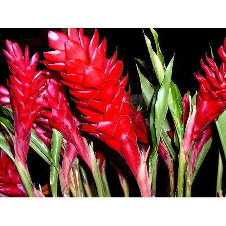 Hawaiian Red Ginger Plant Root ~ Grow Hawaii