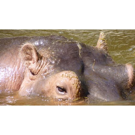 LAMINATED POSTER Hippo Mammal Eyes Hippopotamus Hard Huge Skin Poster Print 24 x 36](Huge Eyes)