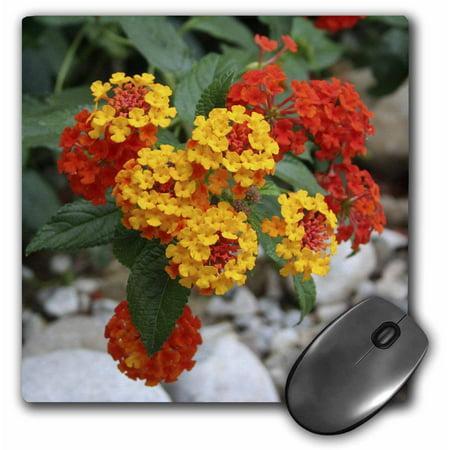 3dRose Red and Gold Lantana -flower, flowers, lantana, plant, plants, shrub verbena, verbena, Mouse Pad, 8 by 8 (Flowers Pad)