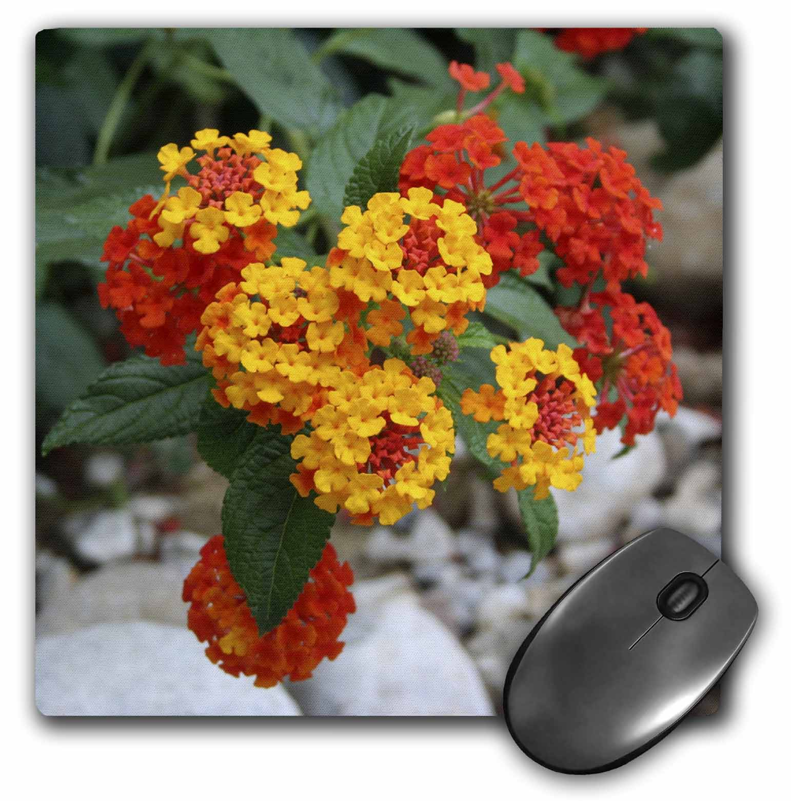 3dRose Red and Gold Lantana -flower, flowers, lantana, plant, plants, shrub verbena, verbena, Mouse Pad, 8 by 8 inches