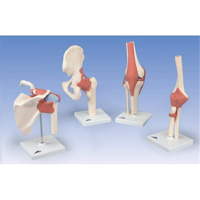 American 3B Scientific BBBA38 Functional Hip Joint Model