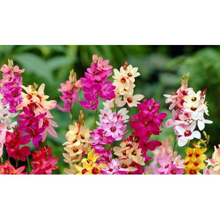 Heirloom Flower Bulbs - Wand Flower Mix - Ixia - 40 Bulbs - Exquisite Color! - 5/+ cm Bulbs