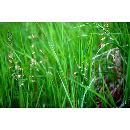"""Sweet Grass For Cats - Hierochloe oderata - Sacred - 4"""" Pot"""
