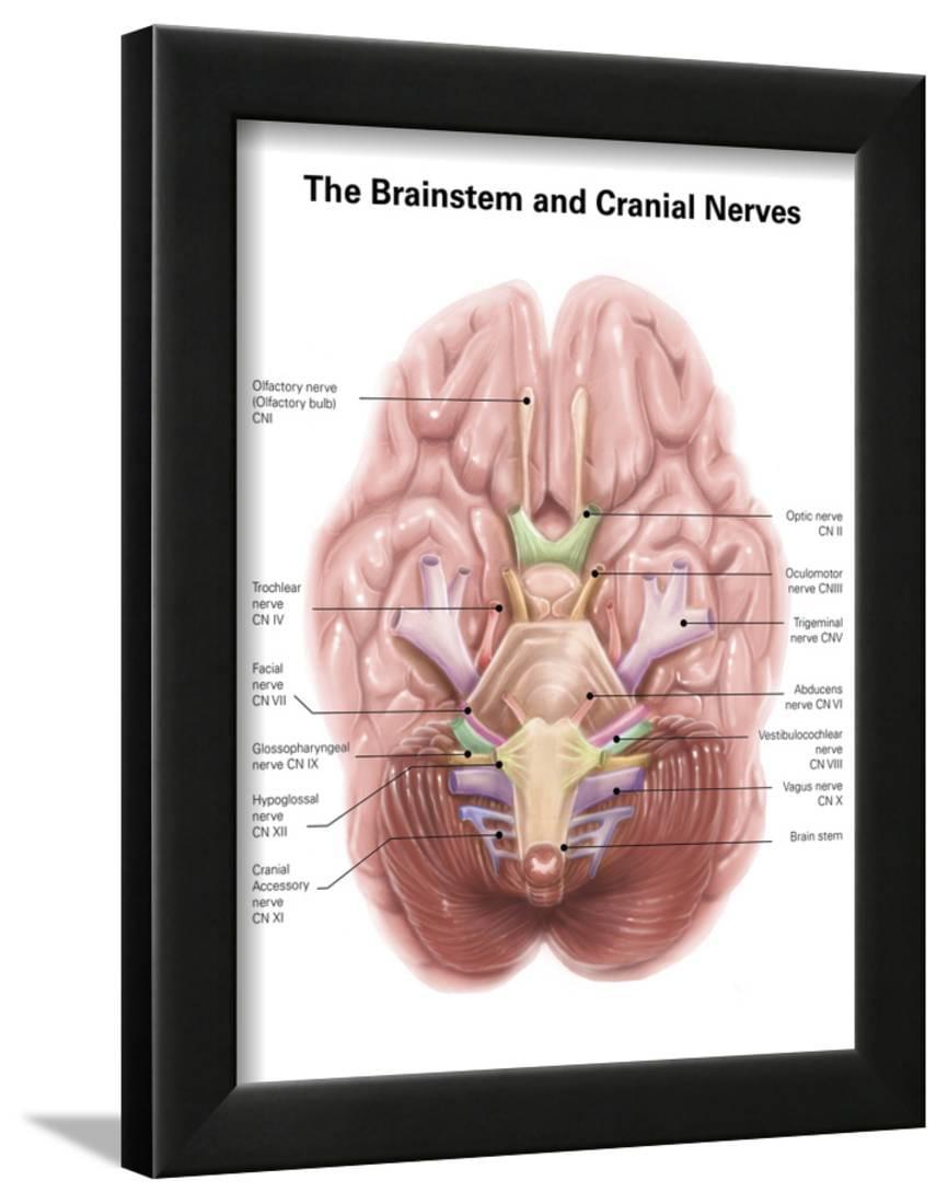 Anatomy of Human Brain Stem and Cranial Nerves Framed Print Wall Art ...