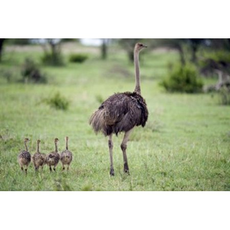 Masai ostrich (Struthio camelus) with its chicks in a forest Tarangire National Park Tanzania Poster Print by Panoramic Images (16 x (Ostrich Chicks)