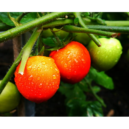 Canvas Print Healthy Tomato Organic Red Vegetable Fresh Food Stretched Canvas 10 x 14
