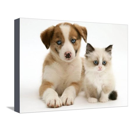 Blue Eyed Red Merle Border Collie Puppy With Birman Cross Kitten