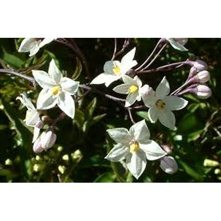 Evergreen white flowering vine for sun walmart evergreen white flowering vine for sun mightylinksfo