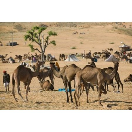 Camel Market Pushkar Camel Fair India Canvas Art - Walter Bibikow  DanitaDelimont (36 x 24)