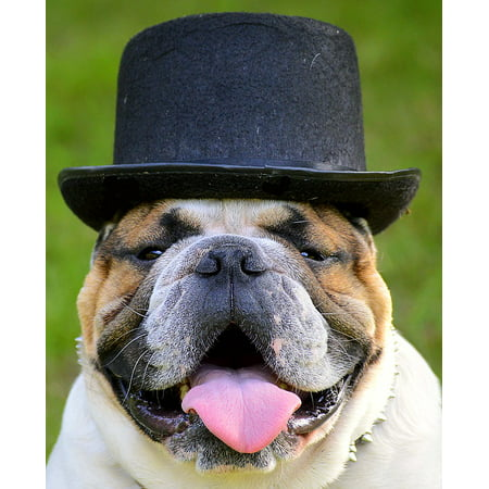 LAMINATED POSTER Head Portrait Face Bulldog Hat View Poster Print 24 x 36