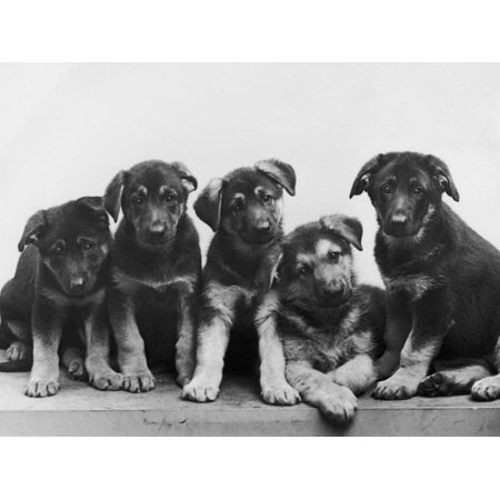 Group of Alsatian Puppies Dog Black and White Vintage Photography Print Wall Art By Thomas Fall Black White Dog Prints