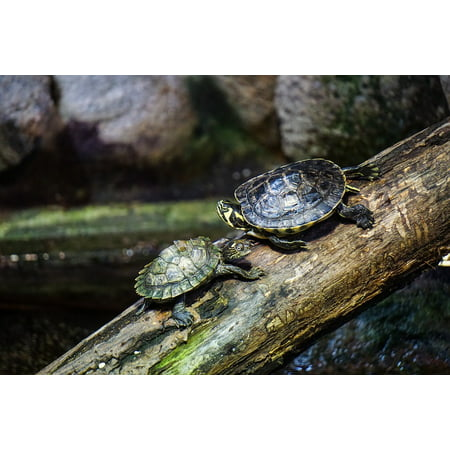 Canvas Print Sun Turtles Creature Jungle Water Nature Log Stretched Canvas 10 x 14