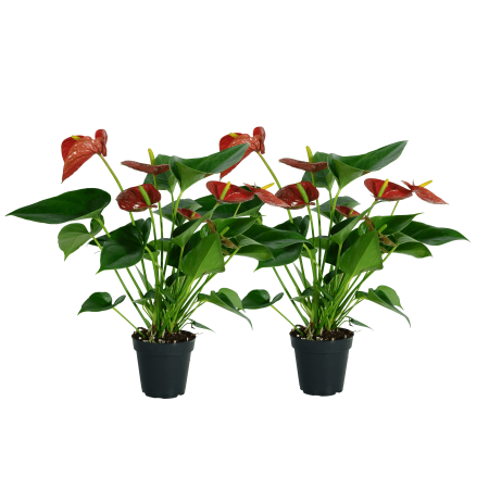 Image of Delray Plants Live Anthurium Indoor House Plants 12 to 14-inches Tall in Grower Pot, 2 pack