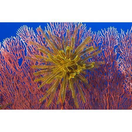 One Direction Halloween Fan Art (Yellow feather star on red sea fan Papua New Guinea Canvas Art - Steve JonesStocktrek Images (18 x)