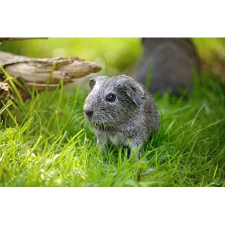 LAMINATED POSTER Silver Smooth Hair Guinea Pig Young Animal Poster Print 24 x 36