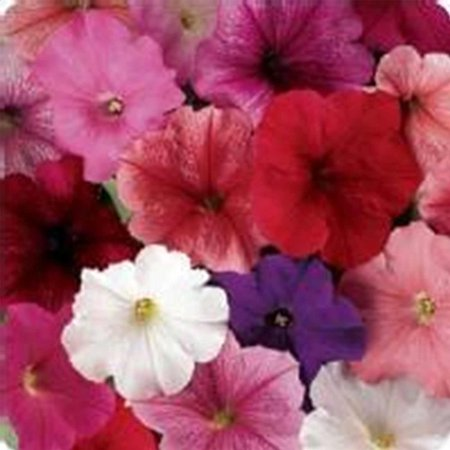 - Petunia - Madness Series Flower Garden Seed - 1000 Pelleted Seeds - Total Color Mix Blooms - Annual Flowers - Single Floribunda Petunias, Petunia.., By Mountain Valley Seed Company Ship from US