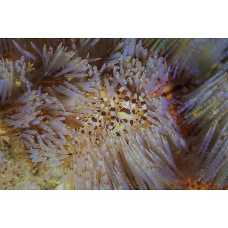 A pair of Colemans shrimp live among the venomous spines of a fire urchin Canvas Art - Ethan DanielsStocktrek Images (17 x - Live Shrimp