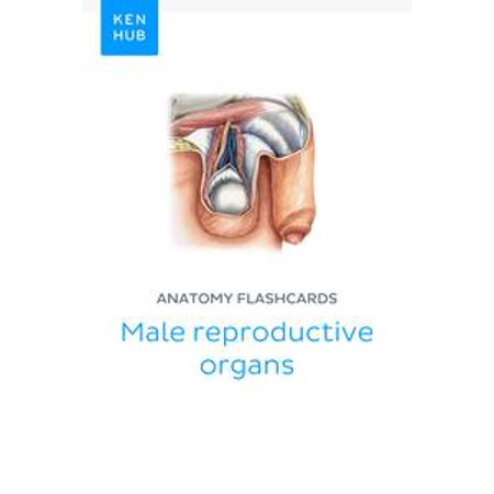 Anatomy flashcards: Male reproductive organs -