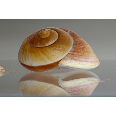 LAMINATED POSTER Sea Snail Decorative Shell Housing Snail Seashell Poster Print 24 x