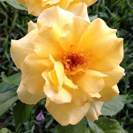 Sun Flare Rose Bush - Lemon Yellow Blooms - 4