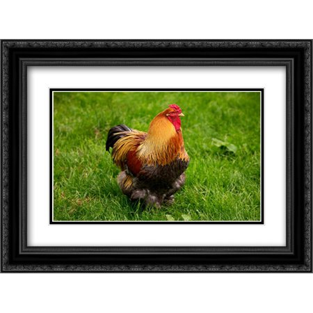 Domestic Chicken, Partridge Brahma, cockerel, standing on grass 2x Matted 24x18 Black Ornate Framed Art Print by Lacz,