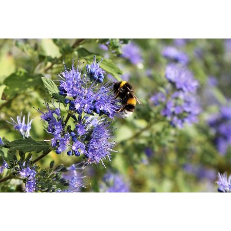 Canvas Print Nectar Blossom Flower Blue Bee Bloom Summer Stretched Canvas 10 x 14 Bee Gathers Nectar