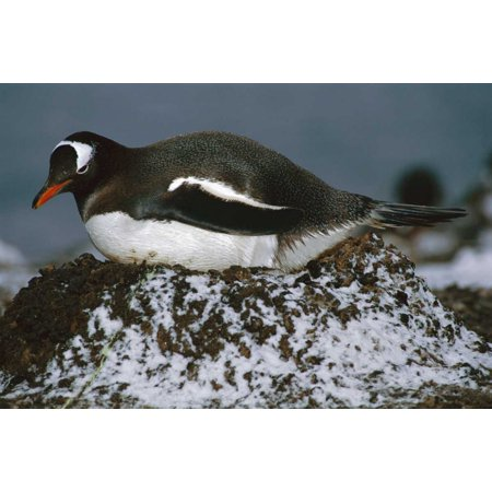Gentoo Penguin adult incubating on pebble nest Aitcho Island Antarctica Poster Print by Tui De - Penguins Pebble Mate