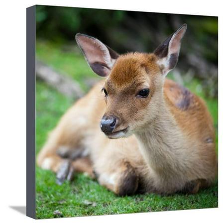 Sika Deer (Lat. Cervus Nippon) Doe Stretched Canvas Print Wall Art By l i g h t p o e t - Nippon Art Collection