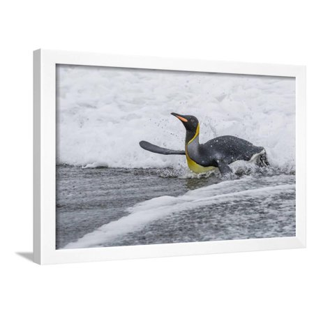 Adult King Penguin (Aptenodytes Patagonicus) Returning from Sea at ...