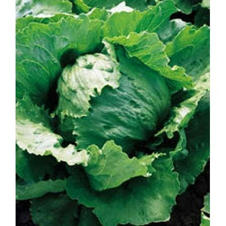 Lettuce Iceberg Great Heirloom Vegetable 5,000 Seeds (Lettuce Live Halloween)