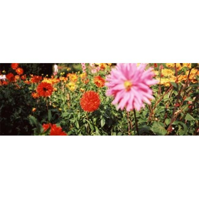 Panoramic Images PPI125633L Dahlia flowers in a park  Stuttgart  Baden-Wurttemberg  Germany Poster Print by Panoramic