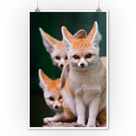 Fennec Foxes   Lantern Press Photography  9X12 Art Print  Wall Decor Travel Poster