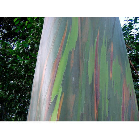 Rainbow Eucalyptus Tree 15 seeds Eucalyptus deglupta Smooth Colored Bark Aromatic Small White flower clusters Bonsai -Standard container ()