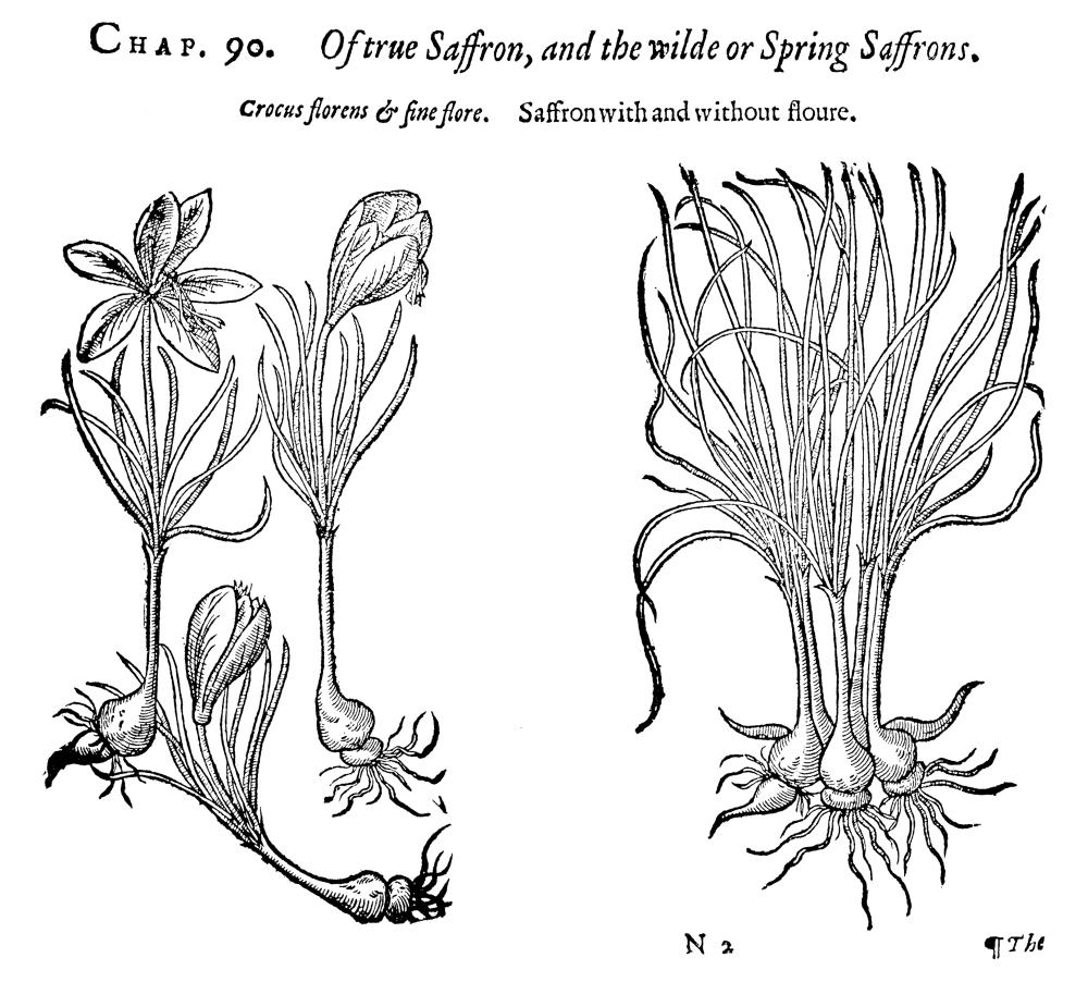 Botany Saffron Crocus Nmeadow Or Autumn Crocus (Colchicum Autumnale) Woodcut From Thomas... by Granger Collection