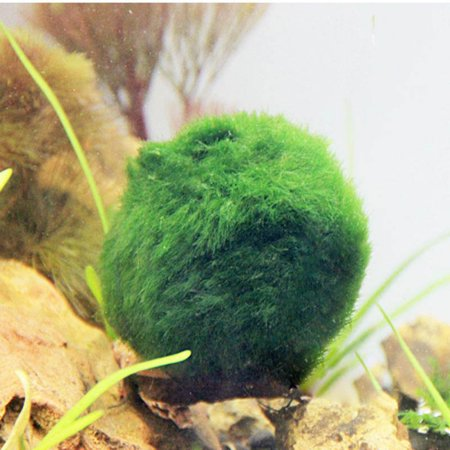 Aquatic Plant Supplement (3 Pack Hermit Balls - Bright, Green, All Natural Aquatic Plants - for Freshwater and Saltwater Aquarium - Maintain Humidity - Supplement Hermit Crab Diets)