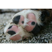Canvas Print Paw Animal Picture Bernese Mountain Dog Dog Stretched Canvas 10 x 14