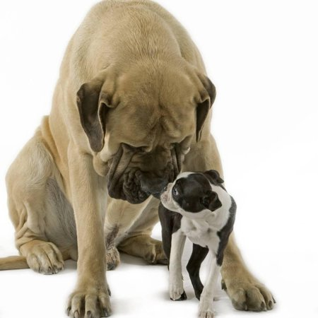 Boston Terrier with Mastiff Dog Print Wall Art