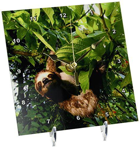 3dRose Panama, Panama City, Three-toed Sloth wildlife SA15 CZI0561 Christian Ziegler, Desk Clock, 6 by 6-inch by 3dRose