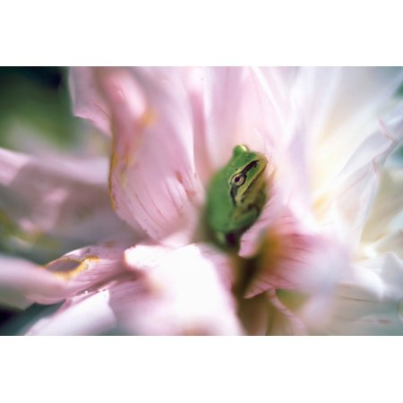 British Trees (Pacific Tree Frog In A Dahlia Flower British Columbia Canvas Art - David Nunuk  Design Pics (17 x 11))