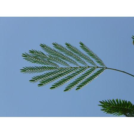 Laminated Poster Acacia Blue Leaf Wedel Green Acacia Karroo Poster Print 11 X 17