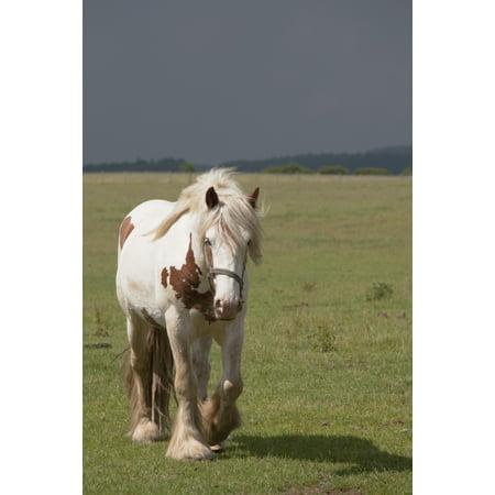 Clydesdale Horse Walking Northumberland England Canvas Art - John Short  Design Pics (12 x 19) (Horse Art Pic)