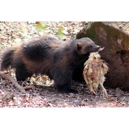Canvas Print Nature Bear Zoo Animal Mammal Wolverine Beast Stretched Canvas 10 x - Wolverine Beard