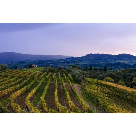 Wine grape vineyard near Ulignano Tuscany Italy Canvas Art - Yves Marcoux  Design Pics (38 x 24) 2007 Italian Still Wine